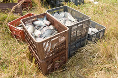 Crates of Tilapia fish. Crates or boxes full of freshly caught tilapia fish outdoors Royalty Free Stock Photo