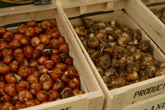 Crates of tulip bulbs Royalty Free Stock Image