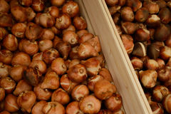 Crates of tulip bulbs Stock Images