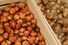 Crates of tulip bulbs Royalty Free Stock Images