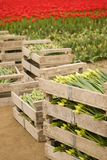 Crates of tulips Stock Images
