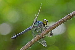 Cratilla metallica, dark-tipped forest-skimmer dra Stock Photos