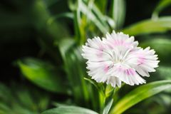 Cravina dianthus chinensis Flowers stock image