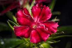 Cravina dianthus chinensis kwiaty Fotografia Royalty Free