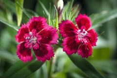Cravina dianthus chinensis kwiaty Zdjęcie Stock