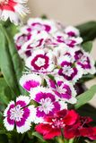 Cravina dianthus chinensis kwiaty Zdjęcia Stock