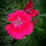 Cravinas rosas fotografering för bildbyråer