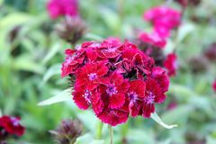 Cravo brilhante de florescência Foto de Stock Royalty Free