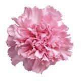 Cravo cor-de-rosa Imagem de Stock Royalty Free