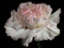Cravo cor-de-rosa Imagens de Stock Royalty Free