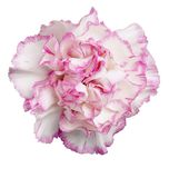 Cravo Cor-de-rosa-Branco Foto de Stock