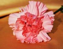 Cravo cor-de-rosa, close-up Imagens de Stock Royalty Free