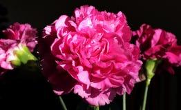 Cravo cor-de-rosa no fundo preto foto de stock