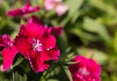 Cravo cor-de-rosa que floresce no campo Fotografia de Stock