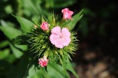 Cravo-da-índia, flor cor-de-rosa, detalhe, mola Fotos de Stock