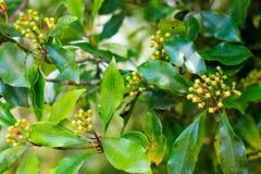 Cravo-da-índia que cresce com as folhas verdes na árvore, Bali imagem de stock royalty free