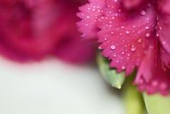 Cravo da cor cor-de-rosa Imagens de Stock