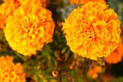 Cravo de Chiinese na natureza amarela imagem de stock