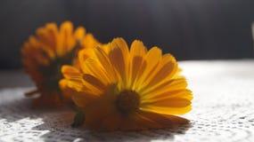 Cravo-de-defunto alaranjado bonito da flor Foto de Stock Royalty Free