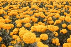 Cravo-de-defunto alaranjado - flor de Cempasuchil Imagens de Stock Royalty Free