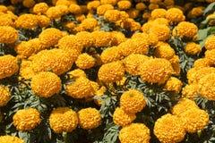 Cravo-de-defunto alaranjado - flor de Cempasuchil Fotografia de Stock