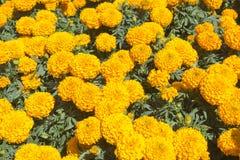 Cravo-de-defunto alaranjado - flor de Cempasuchil Fotos de Stock