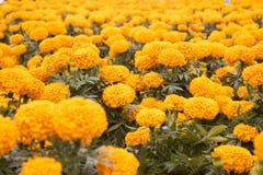 Cravo-de-defunto alaranjado - flor de Cempasuchil Imagem de Stock