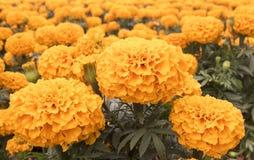 Cravo-de-defunto alaranjado - flor de Cempasuchil Foto de Stock Royalty Free