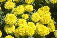 Cravo-de-defunto amarelo - flor de Cempasúchil Foto de Stock Royalty Free