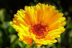 Cravo-de-defunto amarelo flor isolada Fotos de Stock