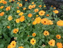 Cravo-de-defunto, amarelo, laranja, cor, flor, cabeça, flor, natureza, verde, medicina, campo, margarida, colorida, planta, fundo fotografia de stock royalty free
