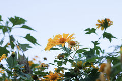 Cravo-de-defunto da árvore, tournesol mexicano, girassol mexicano, SU japonesa Fotografia de Stock