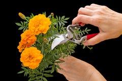 Cravo-de-defunto e tesoura de podar manual alaranjados do jardim à disposição imagens de stock