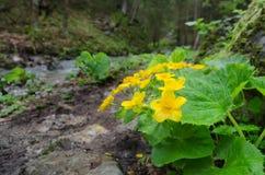 Cravo-de-defunto de florescência de Marh em Mala Fatra NP, Eslováquia Imagem de Stock Royalty Free