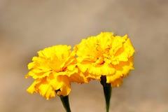 Cravo-de-defunto ou ereta mexicano de Tagetes duas plantas com as pétalas amarelas densas no fundo do sepia fotos de stock royalty free