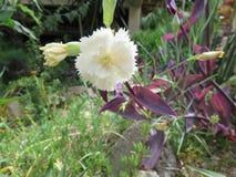 Cravo - rainha do jardim Foto de Stock