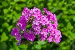 Cravo selvagem roxo do crescimento de flores Imagem de Stock