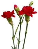 Cravo vermelho Imagens de Stock Royalty Free