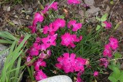 Cravo vermelho, cor-de-rosa Fotografia de Stock Royalty Free