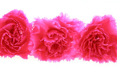 Cravos cor-de-rosa foto de stock royalty free