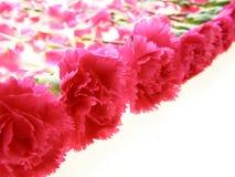 Cravos cor-de-rosa fotografia de stock royalty free