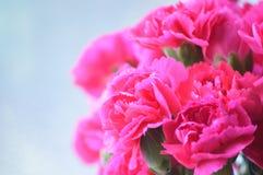 Cravos cor-de-rosa brilhantes Imagens de Stock Royalty Free