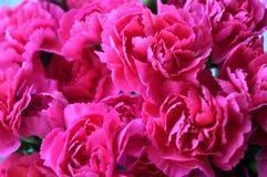 Cravos cor-de-rosa brilhantes Foto de Stock