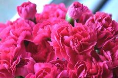 Cravos cor-de-rosa brilhantes Imagem de Stock Royalty Free