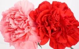 Cravos cor-de-rosa e vermelhos Fotografia de Stock Royalty Free