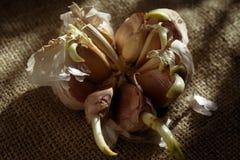 Cravos-da-índia de alho da germinação Fotografia de Stock Royalty Free