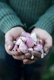 Cravos-da-índia de alho inteiros frescos nas mãos colocadas Foto de Stock Royalty Free
