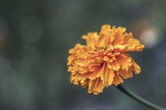 Cravos-de-defunto alaranjados no jardim Fotografia de Stock Royalty Free