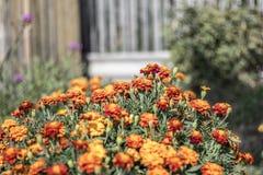Cravos-de-defunto alaranjados no jardim Foto de Stock
