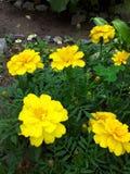 Cravos-de-defunto amarelos Fotografia de Stock Royalty Free